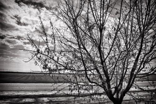 Bygone Almond Tree