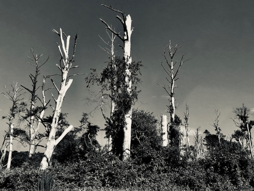 Dead tress in Chinoteague