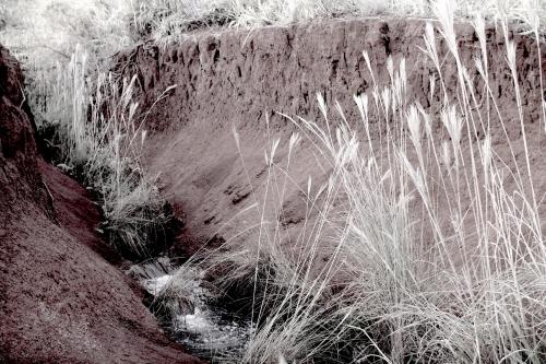 Gully-grasses