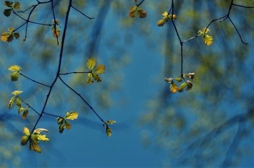 baby oaks