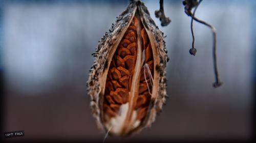 milkweed--