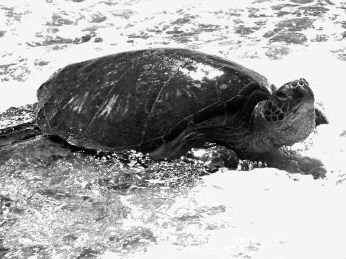 rossGiant Sea Tortoise