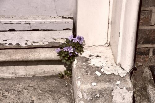 violets copy